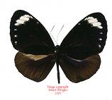 Euploea tulliolus pollita (Philippines) A2