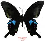 Papilio arcturus arcturus (Thailand) A- females left
