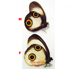 Taenaris urania sp. (Papua) A1 and A-