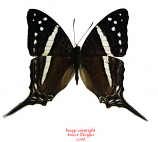 Marpesia crethon (Peru) A-