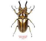 Allotopus rosenbergi (Java)