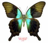 Papilio peranthus kransi (Muna)
