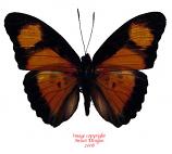 Euphaedra cyparissa (RCA) A2