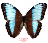 Morpho helenor marinita (Costa Rica) A1 and A2