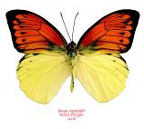 Hebomoia leucippe (Ceram)