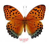 Argynnis childreni (Burma)