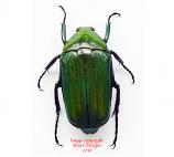 Ptychodesthes gratiosa (Tanzania) A2