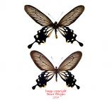 Atrophaneura coon coon (Java) A-