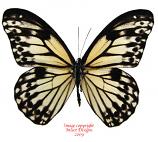 Zethera hestioides (Philippines) A-