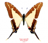 Eurytides dioxippus lancandones (Peru) A-
