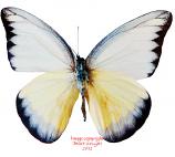 Appias lyncida enaretina (Philippines) A2