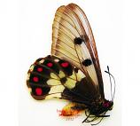 Cressida cressida troilus (Irian) A2