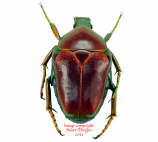 Celidota splendens (Madagascar) A2