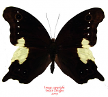 Neorina lowii neophyte (Malaysia)