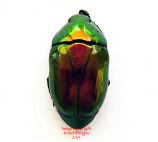 Macraspis lucida (Mexico)