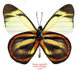 Hesperocharis hirlandia fulvinota (Peru) A-