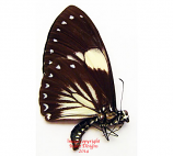 Chilasa paradoxa aenigma f. aegialus (Malaysia) A-