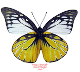 Prioneris thestylis thestylis wsf (Thailand)