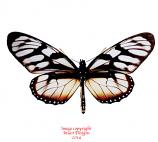 Ituna ilione phenarete (Peru) A-