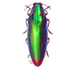 Chrysochroa fulminans (Malaysia)