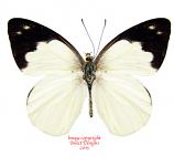 Appias indra (Malaysia) A-