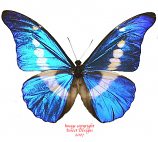Morpho rhetenor helena (Peru) A1 and A-