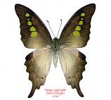 Graphium empedovana (Java)
