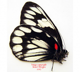 Delias diaphana diaphana (Philippines)