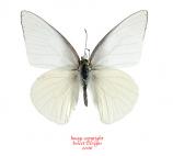 Appias albina semperi (Philippines) A-
