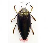 Sternocera sp.2 (Cameroon)
