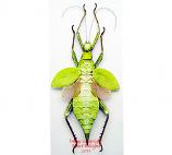 Heteropteryx dilatata - green (Malaysia)