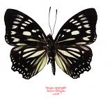 Euripus nyctelius (Sumatra) A2