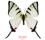Graphium agetes (Malaysia) A-