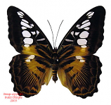 Parthenos sylvia philippensis (Philippines) A2