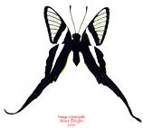 Lamproptera meges virescens (Thailand) A-