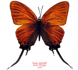 Cheritra orpheus (Philippines) A2