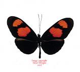 Heliconius erato (Peru) A-