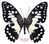 Papilio demoleus (Thailand) A2