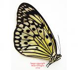 Idea leuconoe (Sumatra) A-
