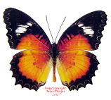 Cethosia luzonica pariana (Philippines) A-