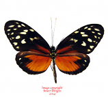 Heliconius hecale (Costa Rica) A2