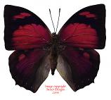 Anaea ryphea (Peru) A-