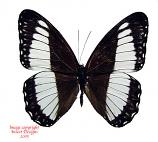 Zethera pimplea (Philippines)