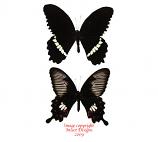 Papilio polytes (Kangean)