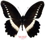Papilio sjoestedti (Tanzania)