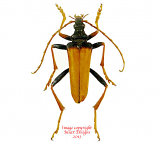 Mastododera nodicolis (Madagascar) A2