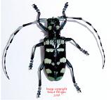 Anoplophora zonatrix (Thailand)