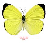 Gandaca harina mindanensis (Philippines) A2