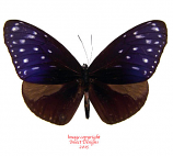 Euploea mulciber (Malaysia) A1 and A2