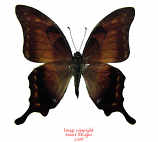 Meandrusa lachinus aribbas (Thailand)